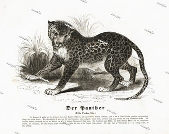 Authentic 1842 Natural History Print of Wild Felis Pardus lin Large print-black and white