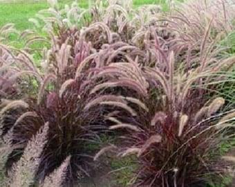 50 PURPLE FOUNTAIN GRASS Ornamental Pennisetum Seeds