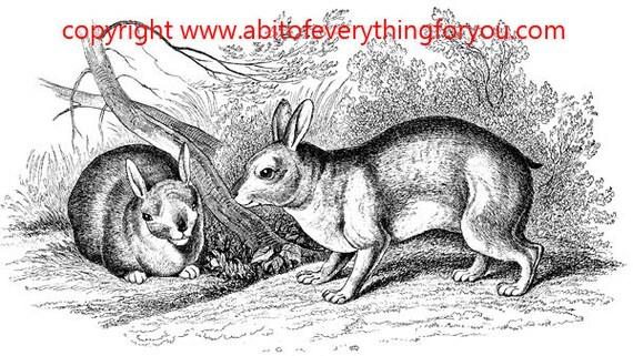vintage bunny rabbits drawing illustration printable art clipart png digital download animal image graphics black and white digital stamp