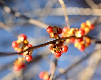 Winter Berries, Color Photography, Winter, Holiday, Maine, Branches, Detail Photography