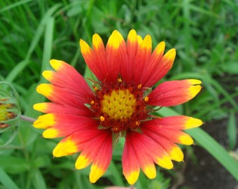 Indian Blanket (Gaillardia pulchella) Seeds