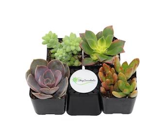 Unique Succulent Plant Collection - live succulents, potted succulents, bulk succulents, wholesale succulents, succulent gifts