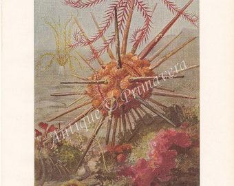 1950 Sea Life: Mediterranean Feather Star, Brown Brittle Star, Spear Sea Urchin Original Antique Colored Plate