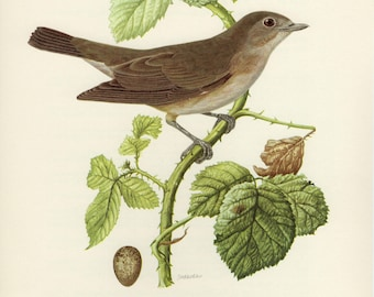 Vintage lithograph of the garden warbler from 1953
