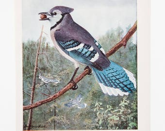 Vintage Print Birds Blue Jay North America Color Book Illustration - 1950s