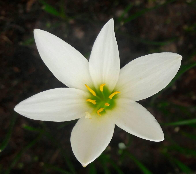 2 Rain Lily Bulbs Zephyranthes Candida Major