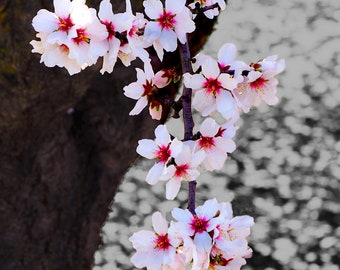 Spring Blossom #6 fine art print - contemporary art - photography -  wall art - flowers - spring blossoms - pink blossoms
