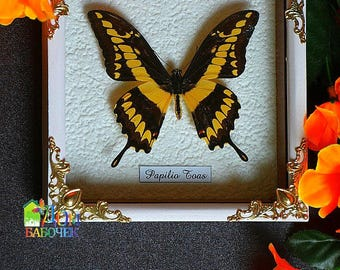 King Tropical Butterfly Framed Butterfly Anticue stile under glass gift collection real American  butterfly