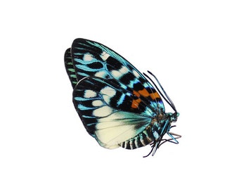 Rare Day Flying Moth (Erasmia Pulchera Chinensis) Specimen
