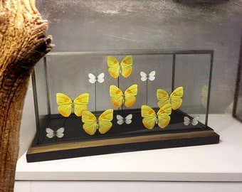 showcase Entomology butterflies
