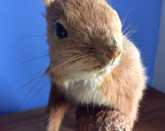 Beautiful Vintage European Red Squirrel taxidermy