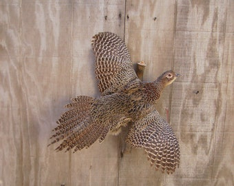 Ringneck Pheasant Hen - Flying Right - Mount - Taxidermy