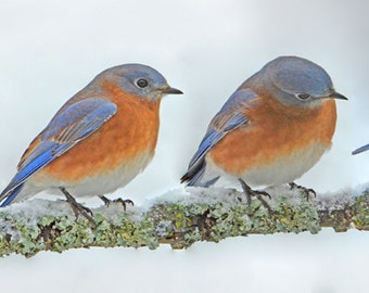 "Bluebirds on limb, song bird photo, pretty birds, for bird lovers, for nature lovers  Title: ""Winter Blues Quartet"""