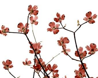 Dogwood Flowers Botanical Art Print Cherry Pink Flower Photography