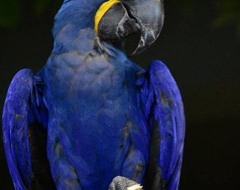 Hyacinth Macaw, Photograph, Macaw Photos, Blue Macaw Photos, Bird Photography, Hyacinth Macaw Photographs, Animal Photography