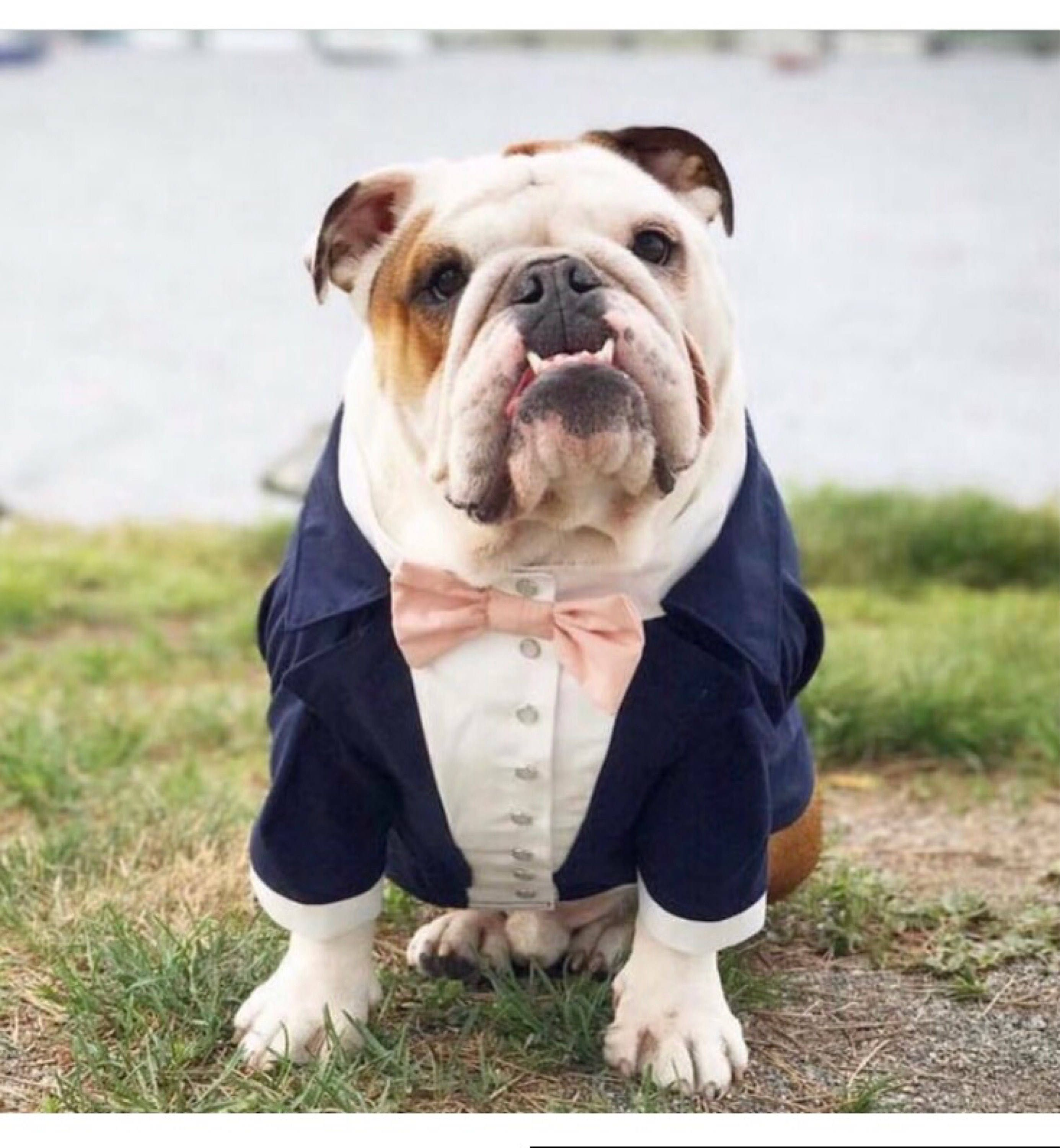 Navy blue dog tuxedo with blush bow tie dog wedding attire zoom ombrellifo Image collections