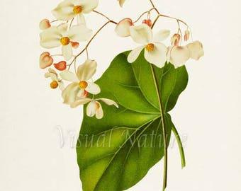 Begonia Jamaica Flower Art Print, Botanical Art Print, Flower Wall Art, Flower Print, Floral Print, white