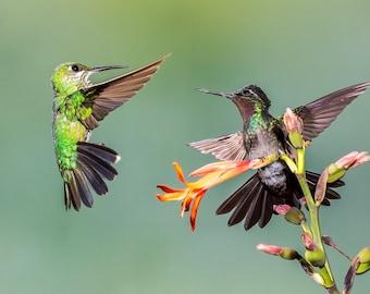 Hummingbird Photo, Hummingbird Print, Nature Print, Bird Picture, Bird Photo, Bird Photography, Hummingbird Art, Angry Bird, Bird Fight