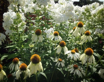 Coneflower Seeds, White Swan Coneflower, Echinacea Seeds, Great Native Plant, Butterfly Garden Favorite