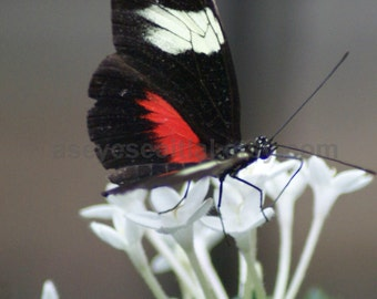 Red, black and white  CATTLEHEART butterfly on white flower photo print greeting card 5x7 card