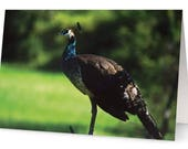 Peacock Greetings Cards (...