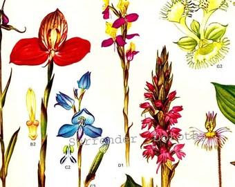 Flower Specimens South Africa Botanical Exotica 1969 Large Vintage Illustration To Frame 89