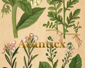 AC10011 Antique original lithography 1918 uliginous flowers herbs flora botany field comfrey scurvygrass chromolithography