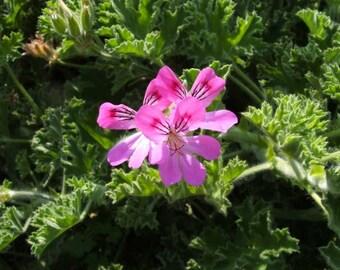 Pelargonium Pink Capitatum-potted garden plant