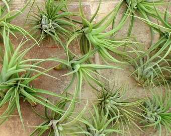 WHOLESALE Air Plant Mix of 5