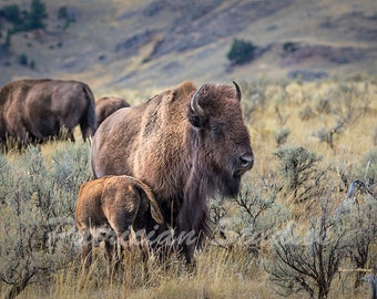 Wyoming Buffalo, American Bison and Calf (AB100)