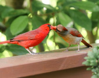 Kissing Cardinals