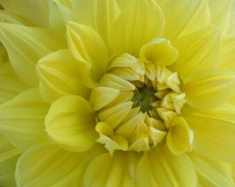 Hello Dolly Yellow - Flower Photograph - Summer Dahlia Print - 4x6, 5x7, 8x10, 11x14, 16x20