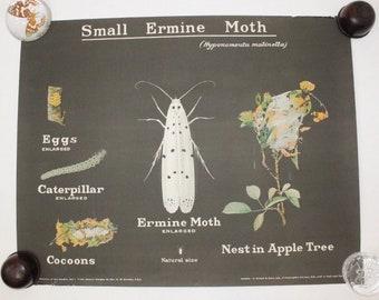 Vintage 1950s poster wall chart British moth insect entomology natural history taxidermy curiosity