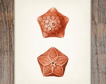 Orange Starfish 1 - 8x10 - Fine art print of a vintage natural history antique illustration