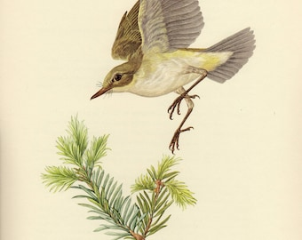 Vintage lithograph of the western Bonelli's warbler from 1953