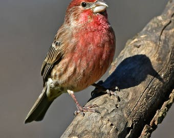 Male house finch, N.Carolina: archival print signed and matted