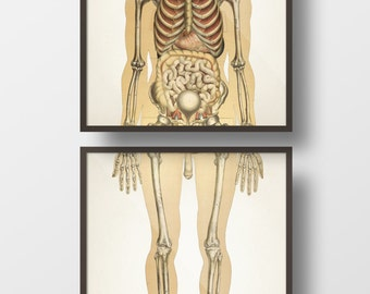 Human Anatomy SKELETAL System, Front Pair - HU-10 HU-11 - Fine art prints of a vintage medical anatomical illustrations