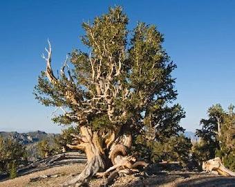 1000 Bristlecone Pine Tree Seeds, Pinus Aristata