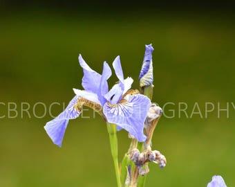 Full bloom blue Iris flowers