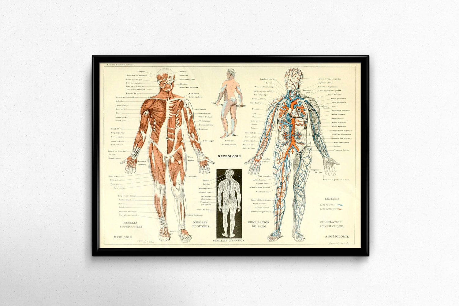 Antique Anatomy Print 1800s Vintage Human Body Poster Science