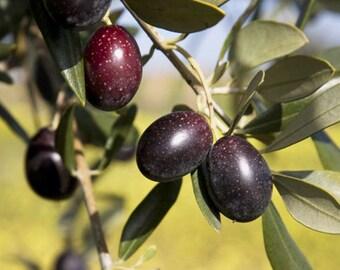 Free shipping! 10 OLIVE TREE (Olea Europaea ) Seeds!