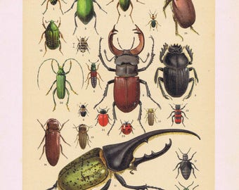 antique print beetle bug insect 1894