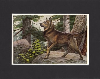 """Elkhound Print 1919 Vintage Dog Print by Louis Agassiz Fuertes Small Picture Mounted + Mat 8"""" x 6"""" Print Elk Hound Print"""