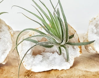 Tillandsia Air Plant and Crystal Quartz Geode ~ 528