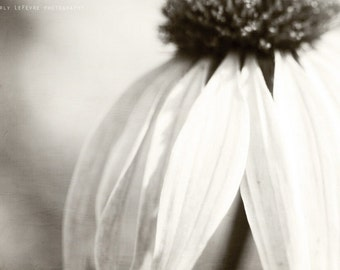 coneflower, black and white, flower, nature, fine art print