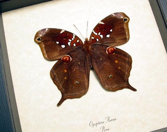 Real Framed Rare Opoptera Aorsa Verso Stichel's Tailed Owlet Butterfly 8258