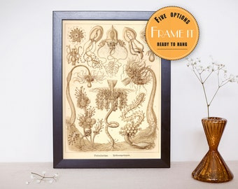 "Vintage illustration from Ernst Haeckel  - framed fine art print, sea creatures,sea life, home decor 8""x10"" ; 11""x14"", FREE SHIPPING - 275"