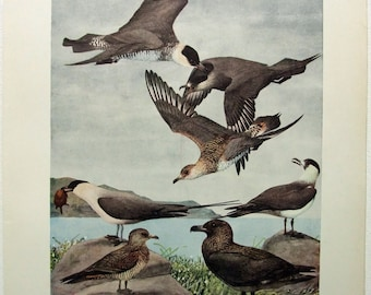 Pomarine, Parasitic and Long Tailed Jaeger's - Antique Print by Louis Agassiz Fuertes - From the 1910 Edition of the Birds of New York