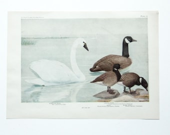 Vintage Print Birds North America- Swan Goose- Color Book Illustration - 1950s