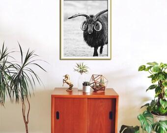 Sheep Art, Black and White Photography Print, Sheep Photography, Ram Horns, Large Wall Art, Modern Art Print, Black and White Animal Print